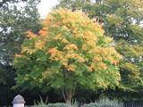 The colourful maple tree